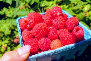 植えっぱなし果物その1 ラズベリー