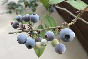 植えっぱなし果物その4 ブルーベリー