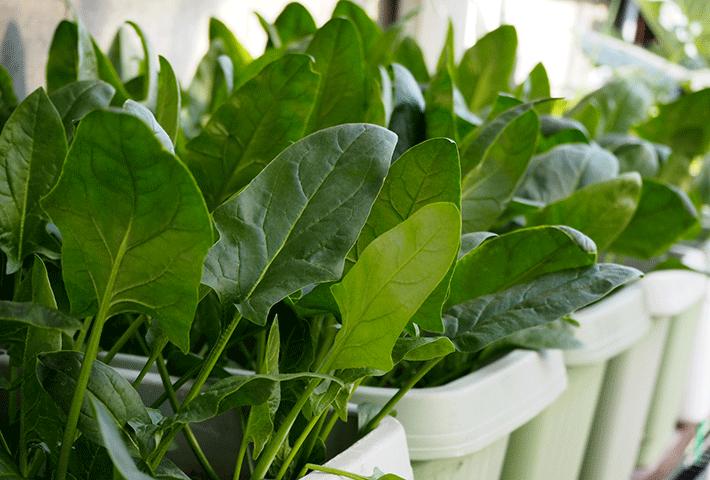 冬の家庭菜園におすすめ!1位 ホウレンソウ(ほうれん草)