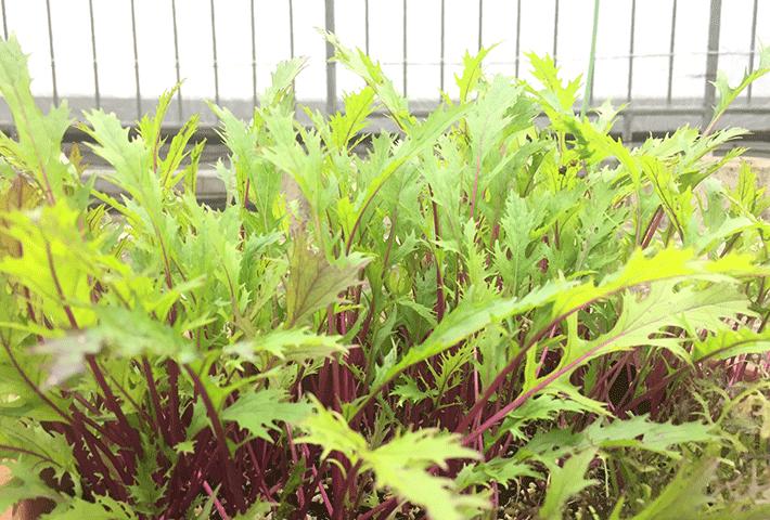 冬の家庭菜園におすすめ!4位 ミズナ(水菜)
