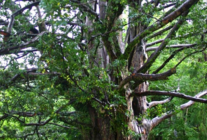 縁結びの木ナギの育て方