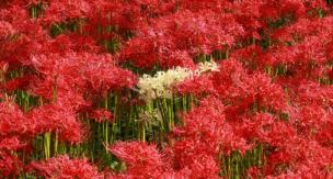 ヒガンバナの育て方|青い彼岸花は作れる?