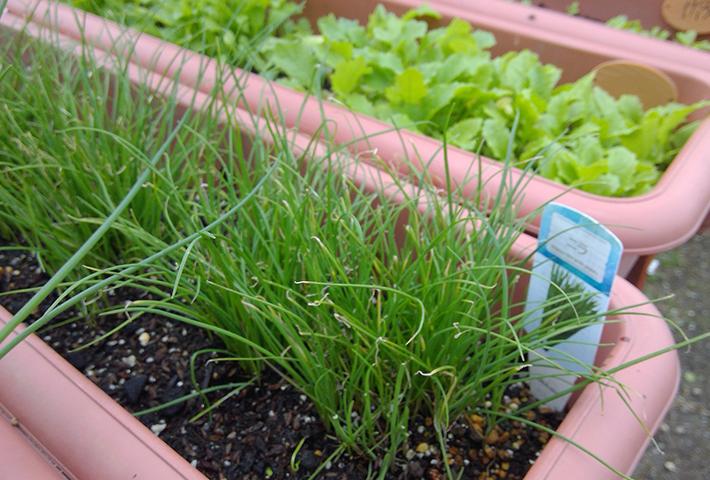 植えっぱなしにできる野菜って何があるの?