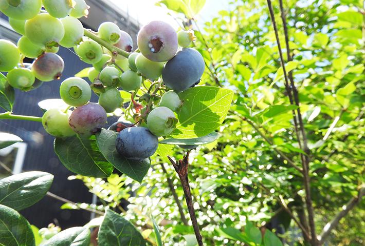 家庭菜園で育てやすい果物ナンバー3 ブルーベリー
