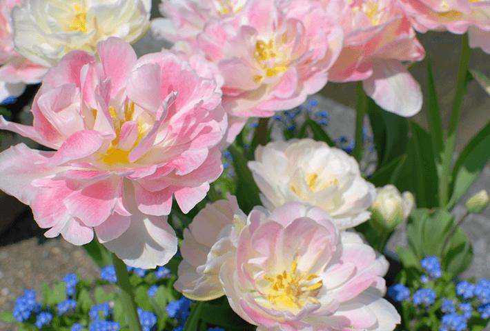 春のトレンド品種 ベイビーアンジェリケ