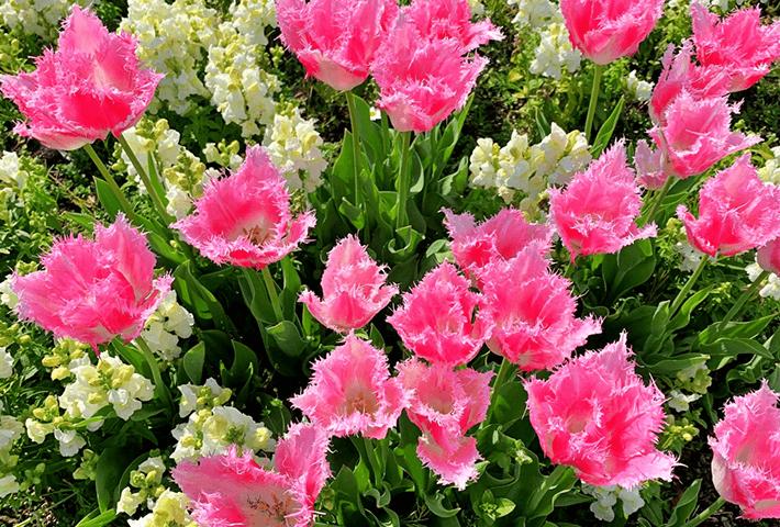 春のトレンド品種 ファンシーフリル