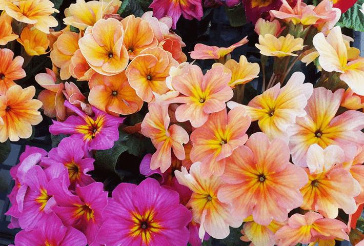 春のトレンド感を出す寄せ植えにおすすめ プリムラジュリアン