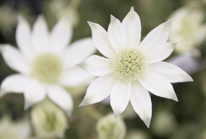 春のトレンド感を出す寄せ植えにおすすめ フランネルフラワー