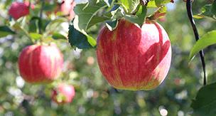 広い庭がなくても大丈夫!家庭菜園で育つ果物をご紹介