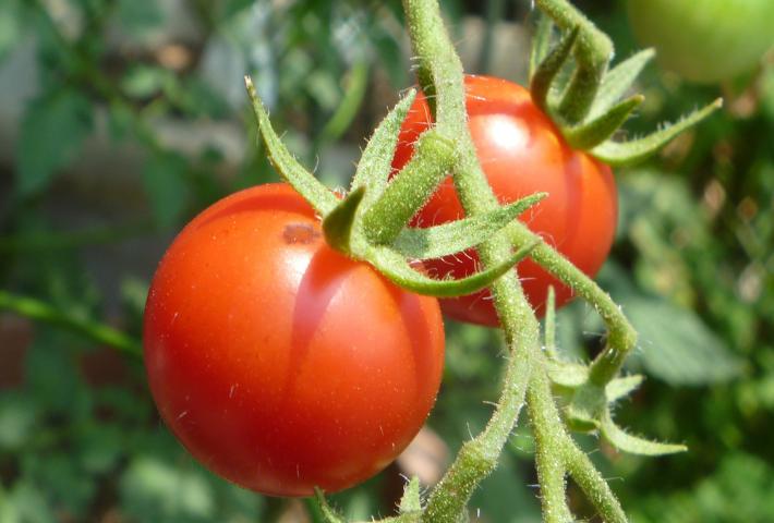 植える時期:3~4年以上休むべき野菜