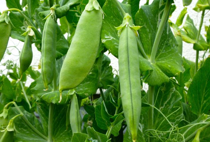 植える時期:4~5年以上休むべき野菜