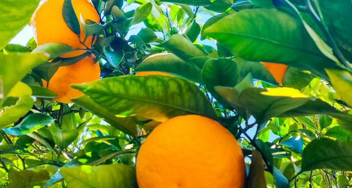 重要なのは元肥!家庭菜園で育てやすい果物をご紹介